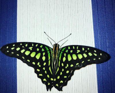 Живая бабочка Graphium Agamemnon