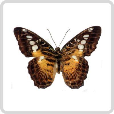 Живая бабочка Parthenos Sylvia - Партенос Сильвия
