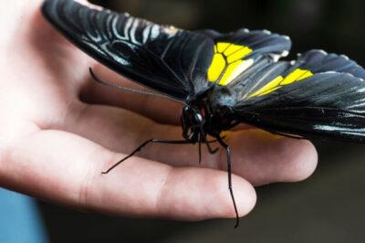 Живая бабочка Troides Rhadamantus, Золотая Птицекрылка