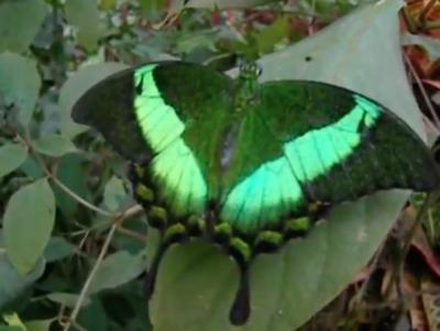 Papilio palinurus видео