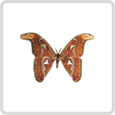 Attacus atlas