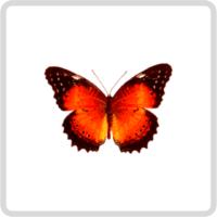 Cethosia biblis