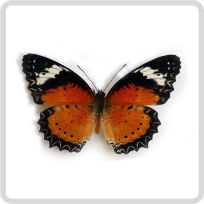 Danaus Сhrysippus тропическая бабочка купить