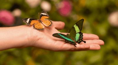 Danaus Сhrysippus & Papilio Palinurus, Папирусник Палинурус