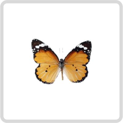 Danaus chrysippus