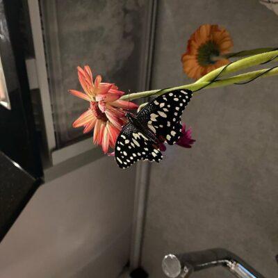 Ideopsis juventa живая бабочка