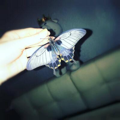 Papilio Memnon – Папирусник Мемнон висит на руках