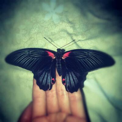 Papilio Rumanzovia – Парусник Румянцева сидит на руках человека