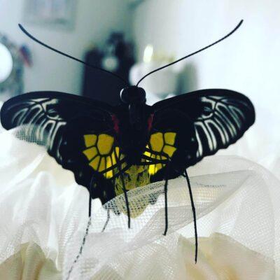 Troides Rhadamantus – Золотая Птицекрылка летает в квартире