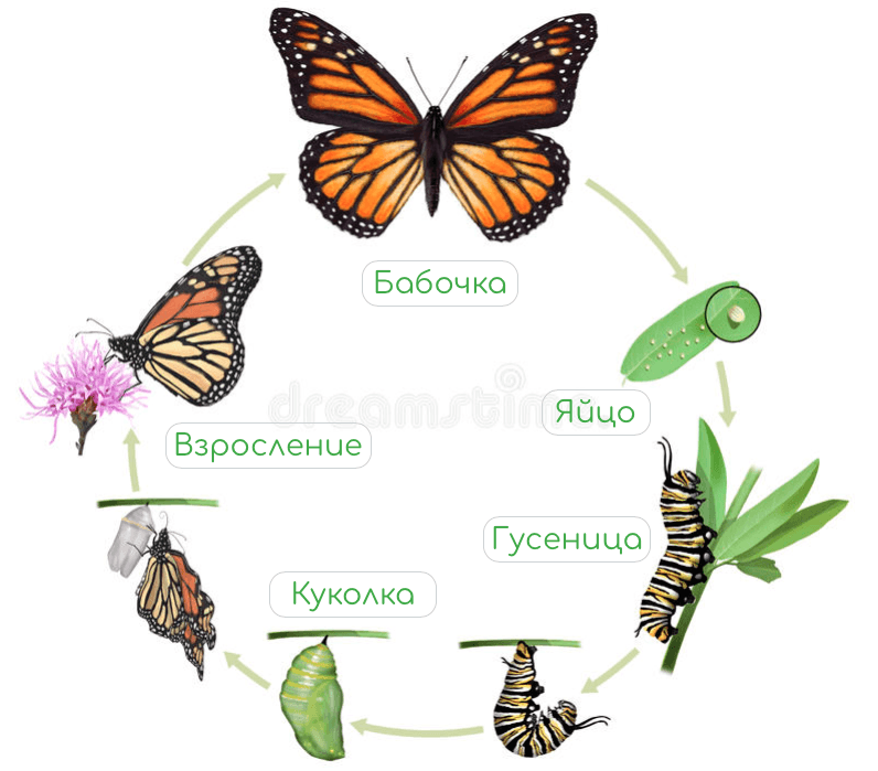 Куколки бабочек, период созревания