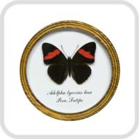 Adelpha lycorias lara в рамке