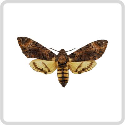 Archerontia styx