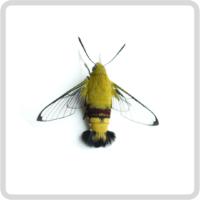 Cephonodes hylas