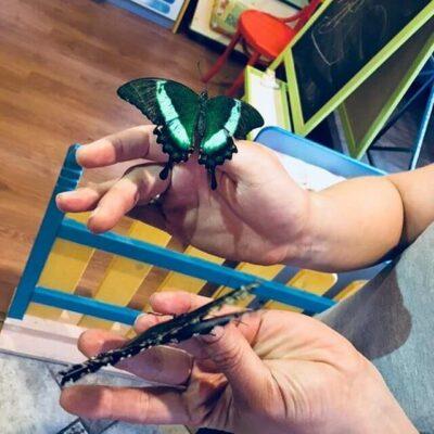 Бабочка Papilio palinurus во вьеткафе