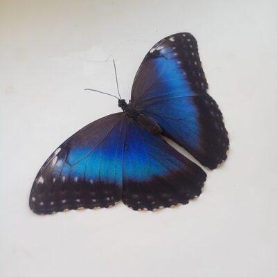 Наши бабочки лучшего качества!