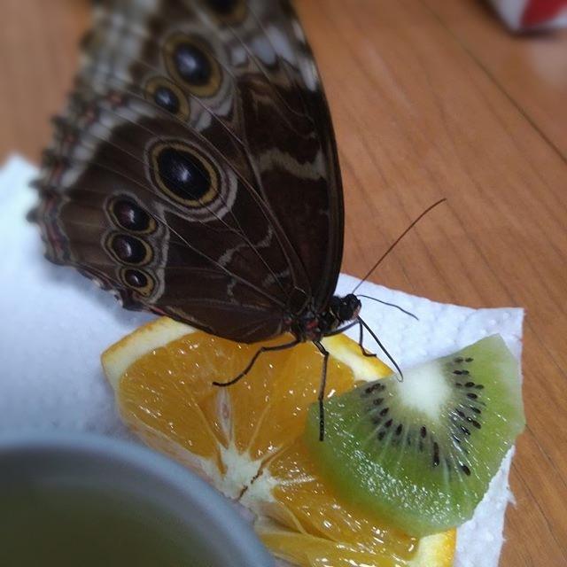 Бубочка кушает апельсин и киви(фрукты)