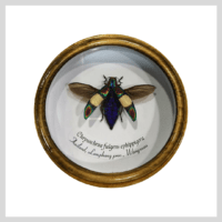 Chrysochroa fulgens ephippigera