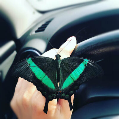 Papilio Palinirus в машине сидит на руках
