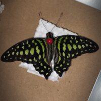 Сухая бабочка Graphium Agamemnon