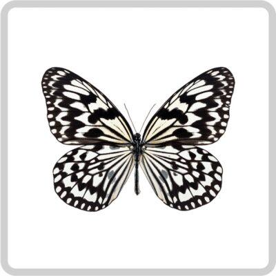 Idea leuconoe бабочка